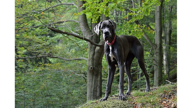 Woman loses bid to get back 84 Great Danes seized by state