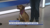Meet Tin Man: The Pet of the Week from the Humane Society of Harris County